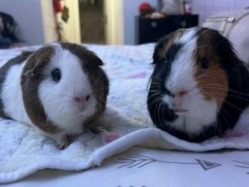 : Guinea Pigs