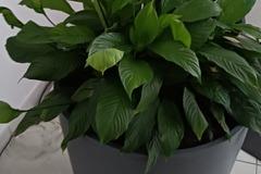 Don: URGENT Spathiphyllum à prendre en charge