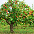 Experiences: Fall Fruit Tree Pruning for Beauty and Bounty