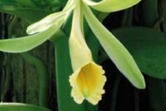 Sell: Vanilla Bean Orchid  $20