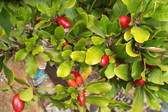 Sell: Miracle Fruit seeds   10 for $3 posted