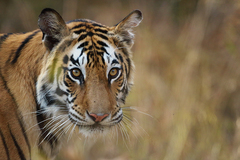 Request Meeting: Tiger Photo Safari with Ashish Tirkey in Bandhavgarh, India